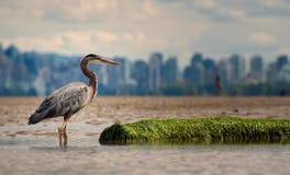 Reiher mit Protokoll und Vancouver-Skylinen Stockbild