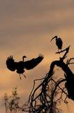 Reiher und IBIS bei Sonnenuntergang Stockfotografie