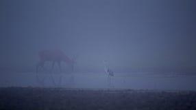 Reiher und Rotwild im Nebel Lizenzfreie Stockfotos