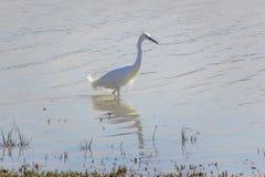 Reiher, weißes Egretta garzetta, watend in Richtung zum Teichufer Lizenzfreie Stockfotografie