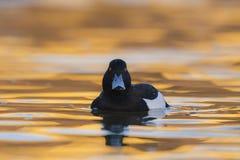 Reiherente Aythya fuligula - erwachsener Mannesschwimmen auf Wasser Lizenzfreie Stockfotografie