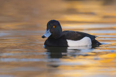 Reiherente Aythya fuligula - erwachsener Mannesschwimmen auf Wasser Stockfoto
