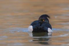 Reiherente Aythya fuligula - erwachsener Mannesschwimmen auf Wasser Lizenzfreies Stockfoto