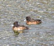 Reiherente zwei auf dem See stockfoto