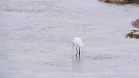 Reiherfischen im Meer stock video
