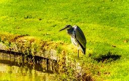 Reiherstellung am Rand von einem Teich stockfotografie