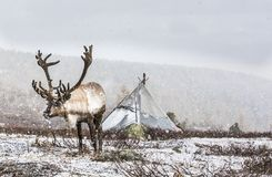 Rein deer in a snow in northern Mongolia. Rein deer in a falling snow in northern Mongolia royalty free stock photos
