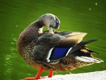 Rein die Ente stockbilder