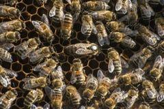 Reina blanca 2 de la marca del capítulo de la cera de la colmena de la abeja de la miel Fotos de archivo libres de regalías