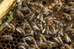 Reina blanca de la marca del capítulo de la cera de la colmena de la abeja de la miel Imágenes de archivo libres de regalías