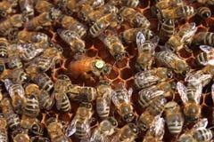 Reina de la abeja Imagenes de archivo