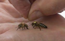 reina de la abeja del control del apicultor a mano Imagen de archivo libre de regalías