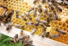 Reina de la abeja en abeja Fotos de archivo libres de regalías