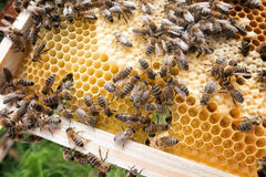 Reina de la abeja en abeja Imágenes de archivo libres de regalías