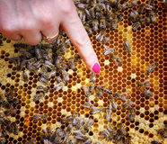 Reina de la abeja en colmena Fotos de archivo libres de regalías