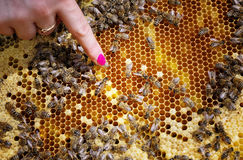 Reina de la abeja en colmena Fotos de archivo