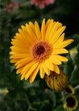 Reina de la flor Foto de archivo