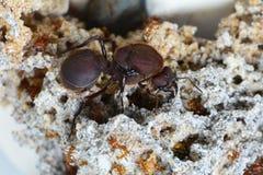 Reina de la hormiga del cortador de la hoja con sus soldados fotos de archivo libres de regalías
