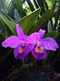 Reina de la orquídea Imágenes de archivo libres de regalías