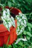 Reina de las plantas frondosas blancas, Colocasia verde esculenta en el pote en Asia Imagen de archivo