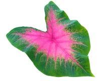 Reina de las plantas frondosas Hojas del Caladium Primer en las hojas tricoloras foto de archivo libre de regalías