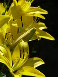 """Reina del †de los lirios """"del jardín de flores Imágenes de archivo libres de regalías"""