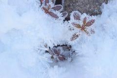 Reina del invierno de nuestro jardín fotos de archivo libres de regalías