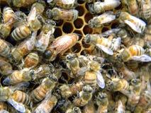 Reina Honey Bee de Mellifra de los Apis Imagen de archivo