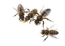 Reina madre de la abeja y trabajadores de la abeja Imagenes de archivo