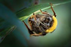 reina Piel de ante-atada del abejorro, reclinación de los terrestris del Bombus fotos de archivo libres de regalías