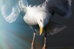 Reincarnation. Spiritual wildlife image of a white bird in the l. Mother nature. Spiritual wildlife image of a white bird in the light of heavenly sun rays. Here Stock Image