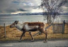Reindear in het noordpoolgebied Royalty-vrije Stock Afbeeldingen