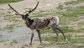 Reindear Royalty Free Stock Images