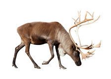 Reindee over white Royalty Free Stock Image