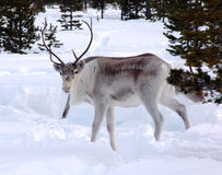 Reindeer-05 Photo stock