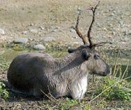 Reindeer 1 Stock Photography