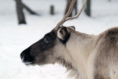 Reindeer. Close-up portrait of a reindeer on a cold Winter day Royalty Free Stock Images