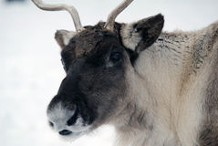 Reindeer. Close-up portrait of a reindeer on a cold Winter day Stock Photography
