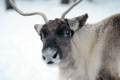 Reindeer. Close-up portrait of a reindeer on a cold Winter day Royalty Free Stock Photo