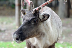 Reindeer. Closeup picture of a reaindeer losing the velvet on its antlers Royalty Free Stock Photography