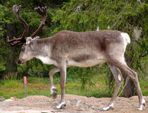 Reindeer. During short polar summer royalty free stock images