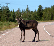 Reindeer. The reindeer who has left on a road royalty free stock images