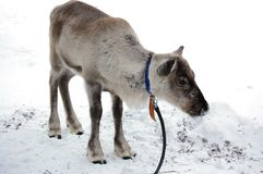 Reindeer. Standing alone in snow Royalty Free Stock Photo