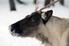 Reindeer. Close-up portrait of a reindeer on a cold Winter day Stock Image