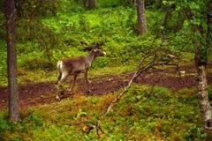 Reindeer. On finnish forest, summer Stock Photos