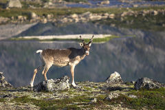 Reindeer. In the Norwegian country side royalty free stock photo