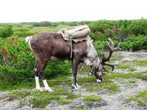 Reindeer. The nature of the north of island Sakhalin Royalty Free Stock Photo