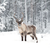 Reindeer. In its natural environment in scandinavia Royalty Free Stock Photo