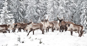 Reindeer. In its natural environment in scandinavia Stock Image