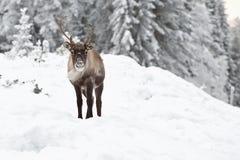 Reindeer Royalty Free Stock Image